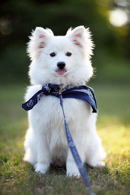 Eszkimó kutya
